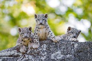 Фото бесплатно Снежный барс, хищник, котята
