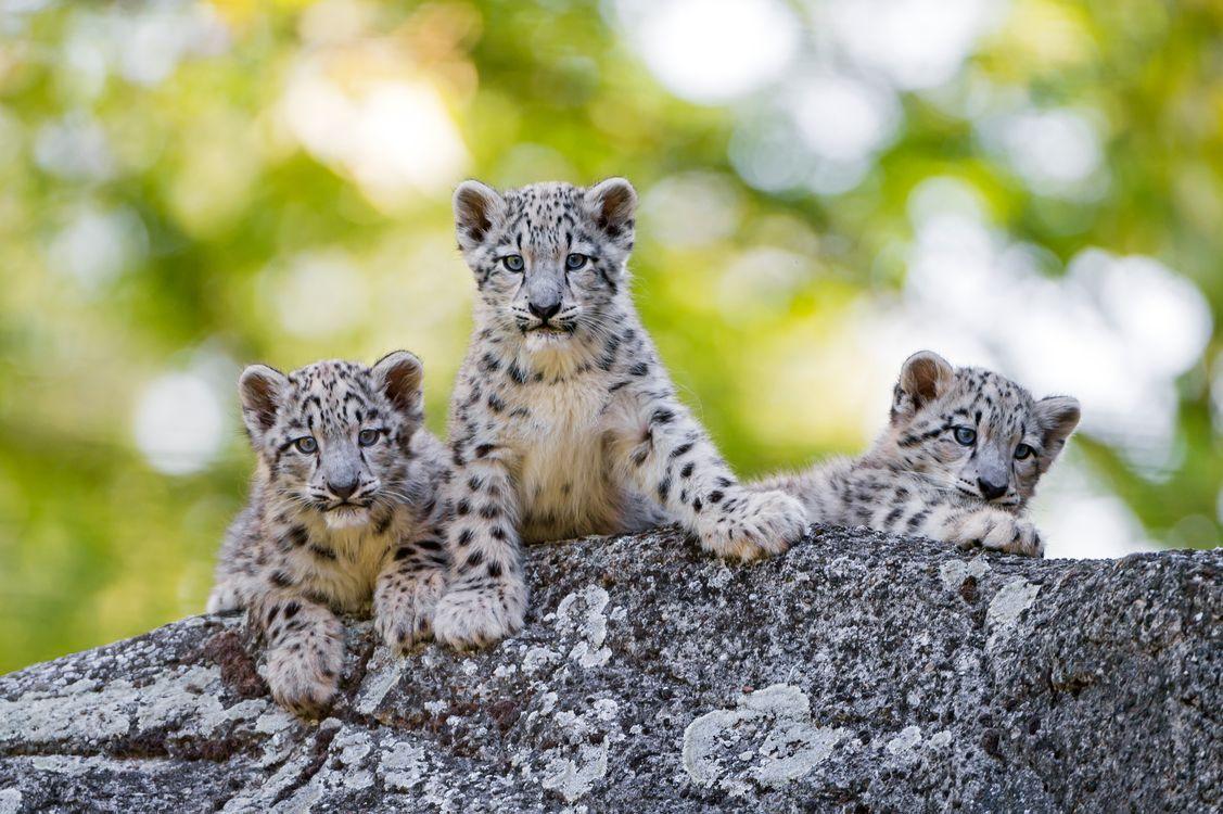 Фото бесплатно Снежный барс, хищник, котята, кошки