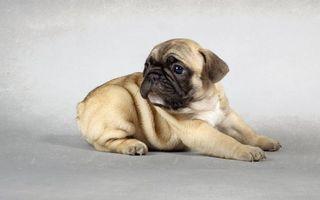 Фото бесплатно мопс, щенок, морда