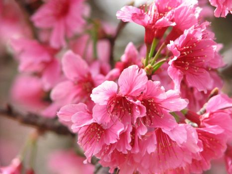 Photo free branch, the flowering, pink flowers