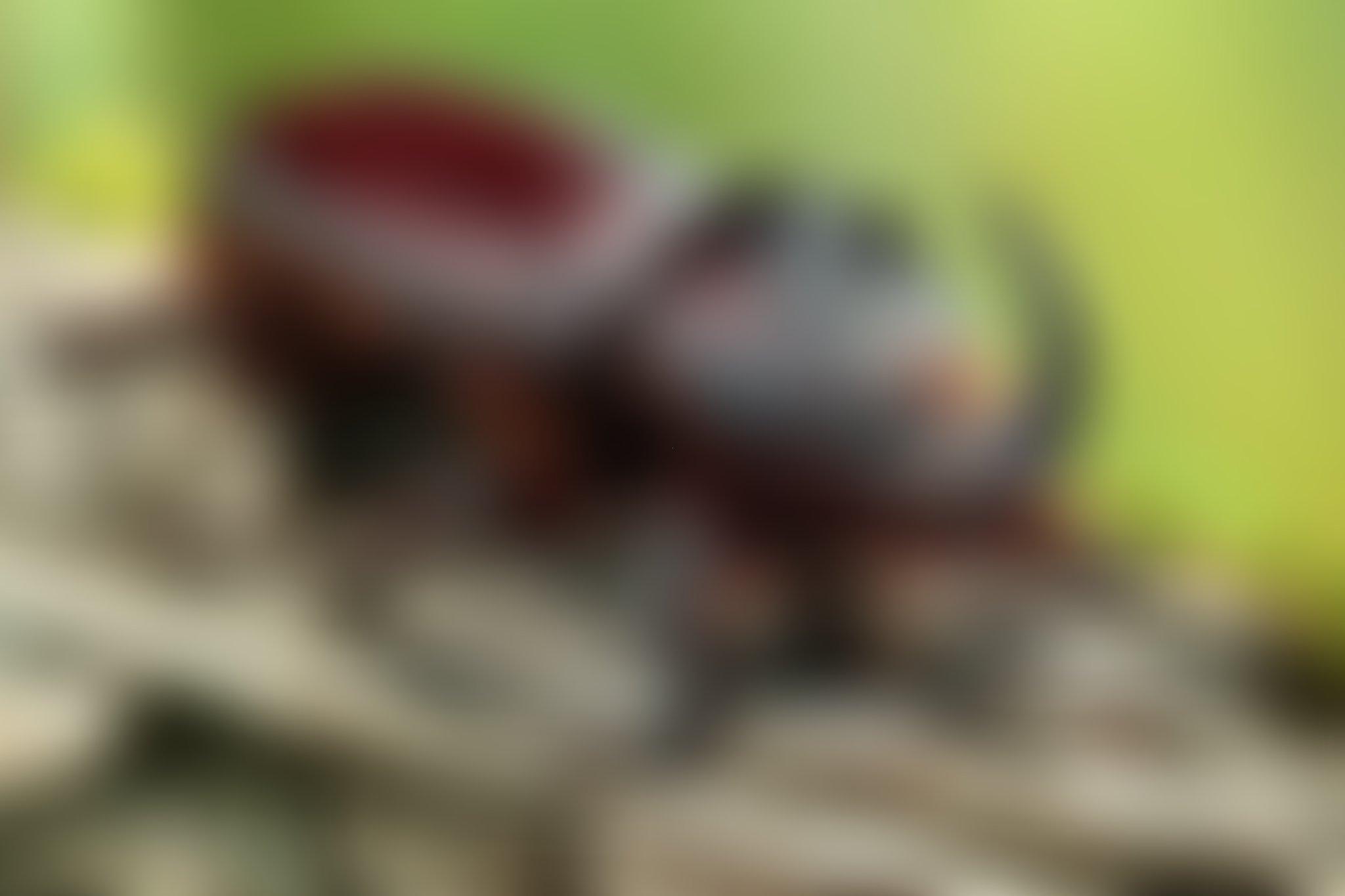 обои жук носорог, насекомые, макро картинки фото