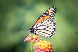 Фото бесплатно бабочка, флора, макро