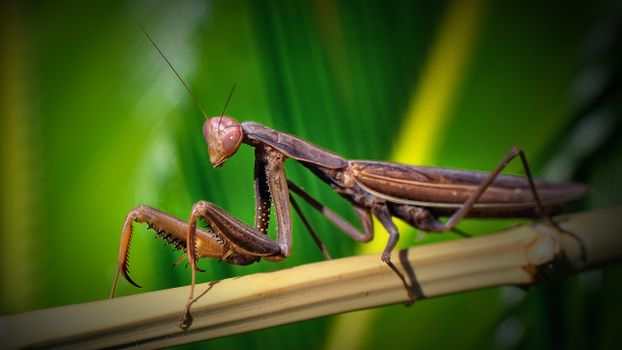 Photo free mantis, bamboo