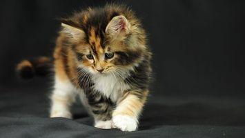 Бесплатные фото котенок,трехцветный,пушистый,шерсть,морда,лапы