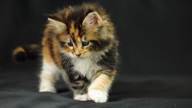 Фото бесплатно котенок, трехцветный, пушистый