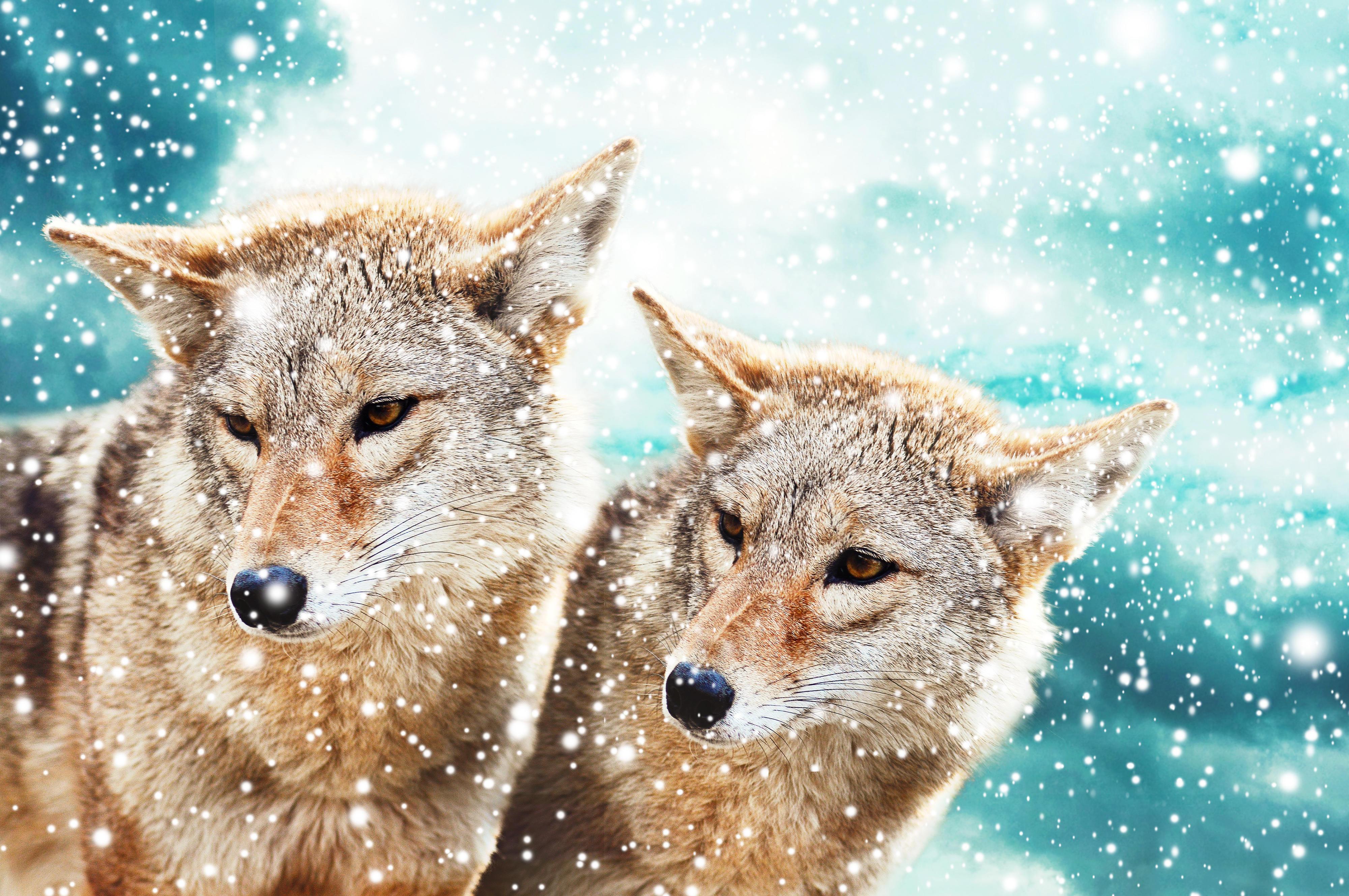 Обои волки, хищники, животные