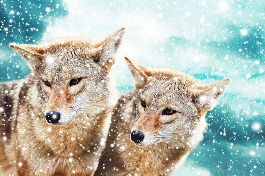 Картинки на тему животные, волки