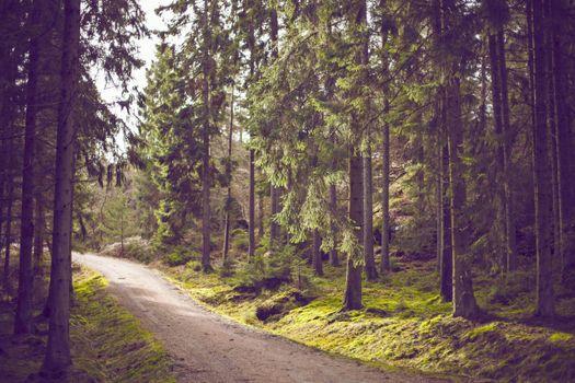 Фото бесплатно лесная дорога, сосны, деревья