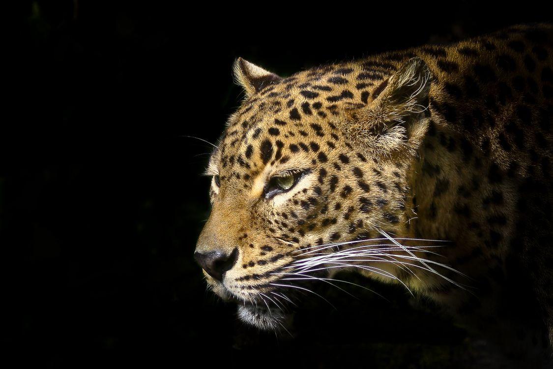 Фото бесплатно леопард, хищник, животное - на рабочий стол