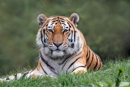 Free tiger, predator - new photos