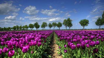 Бесплатные фото поле, тюльпаны, лепестки, бутоны, листья, стебли, деревья