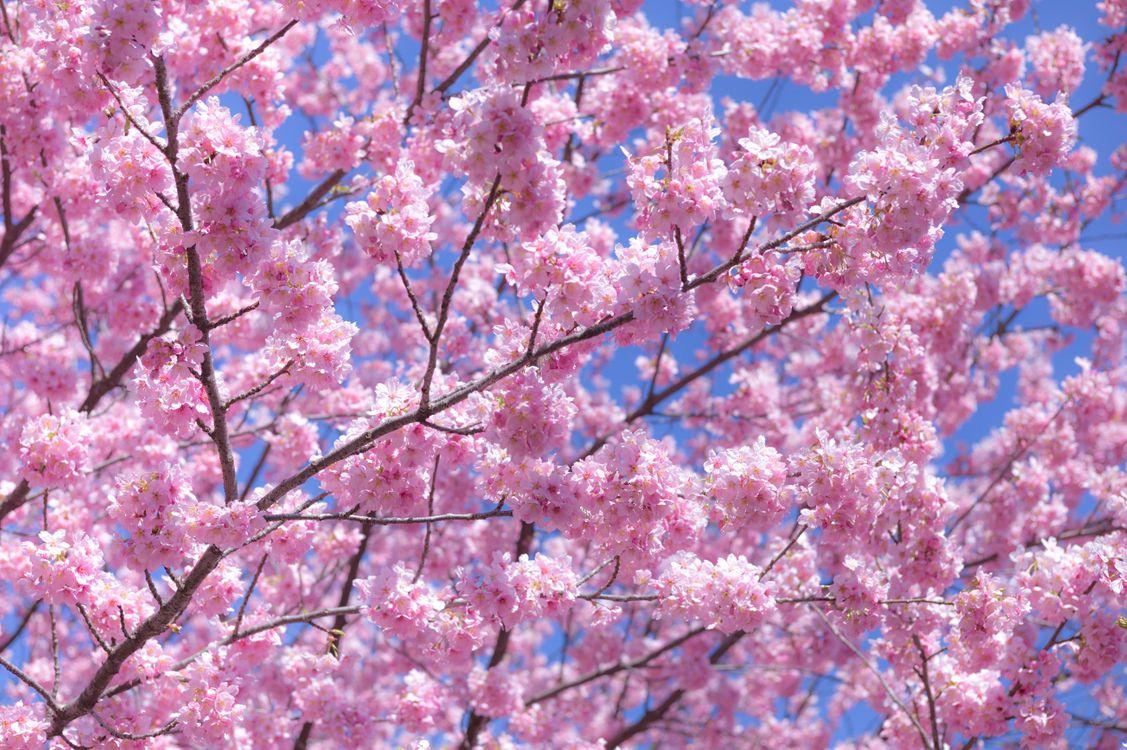 теперь картинки с вишневым цветом ним