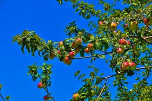Фото бесплатно яблоня, яблоки, ветки