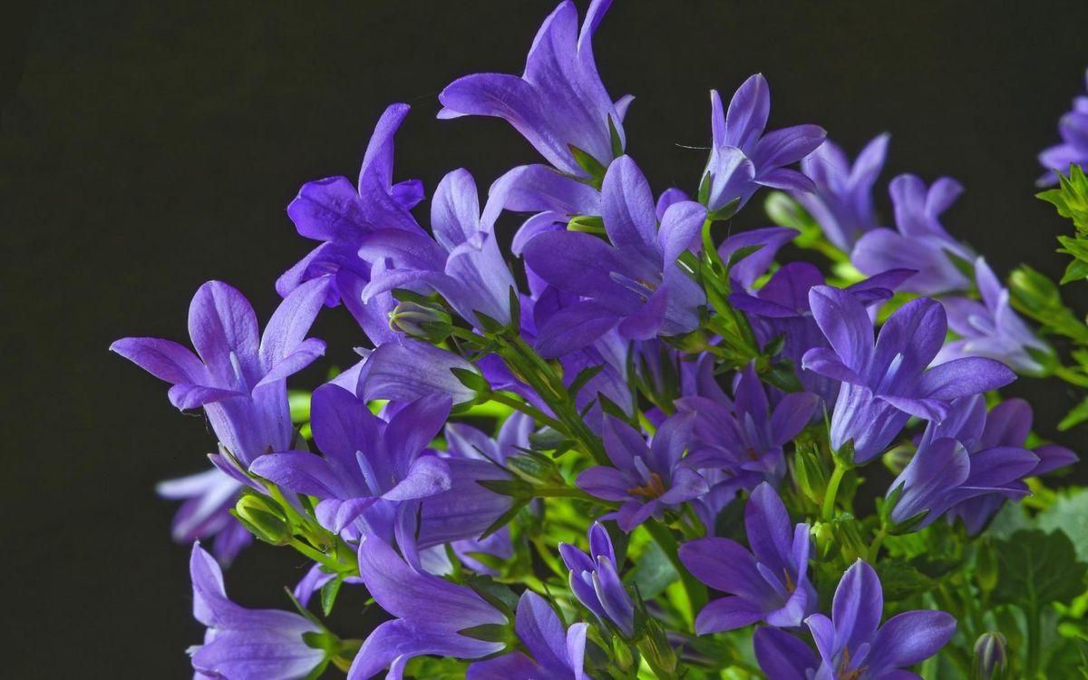 Фото бесплатно колокольчики, сиреневый, макро, цветы