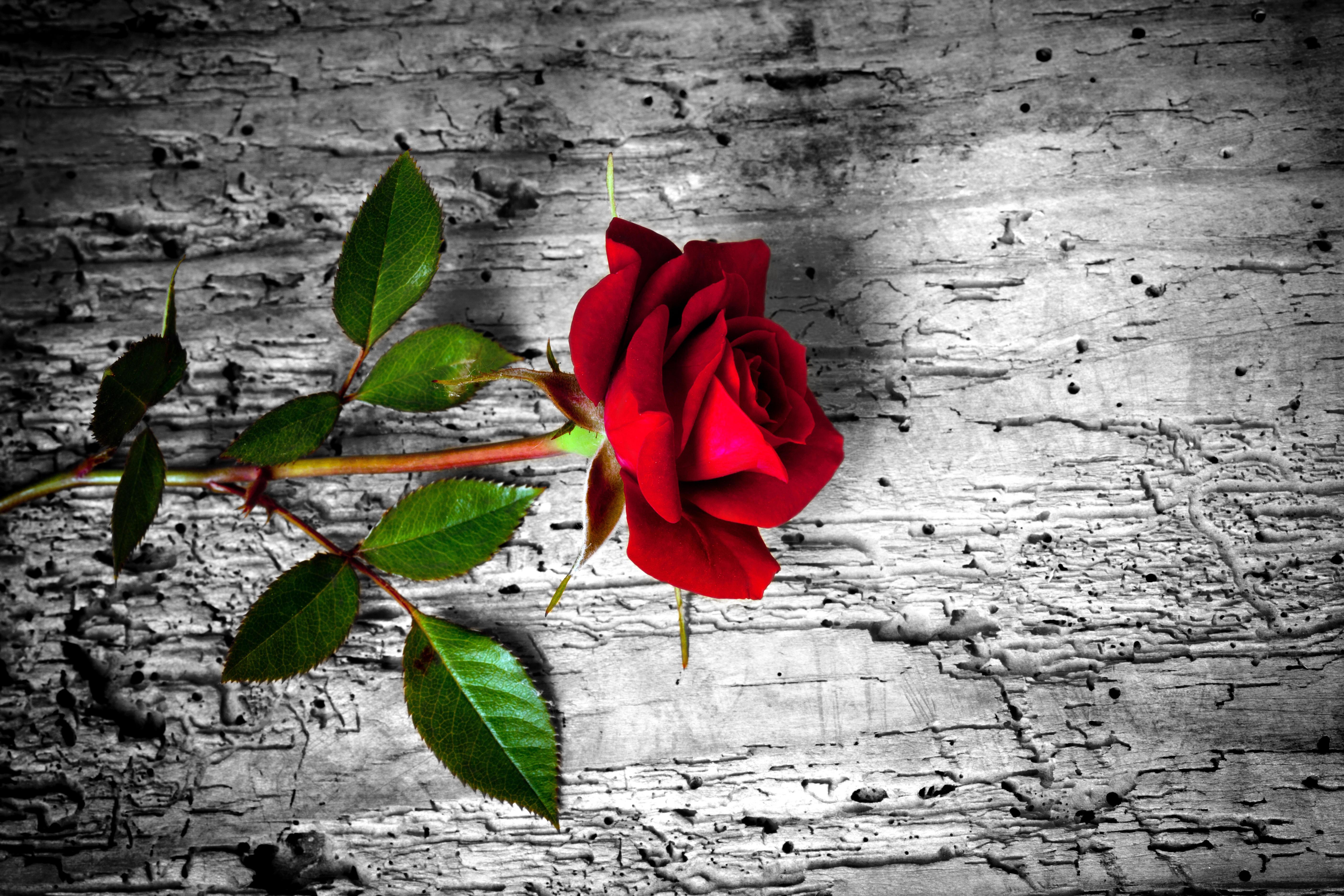 Одинокая роза картинки, цветами без текста