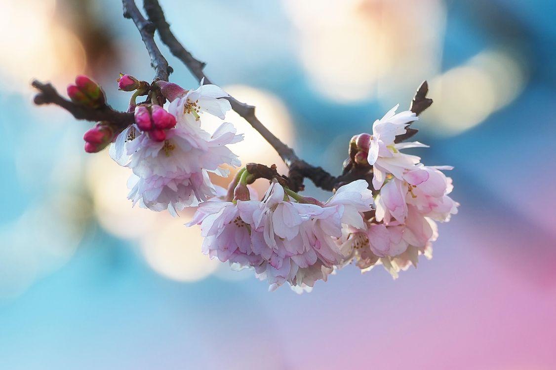 Фото бесплатно ветка, сакура, флора - на рабочий стол