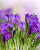 Бесплатные фото Crocus,крокусы,крокус,цветок,цветы,флора