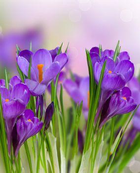 Фото бесплатно крокус, флора, цветы