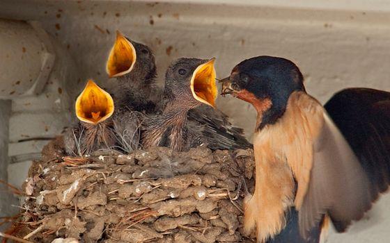 Бесплатные фото птица,гнездо,птенцы,клювы,крик,еда,кормежка