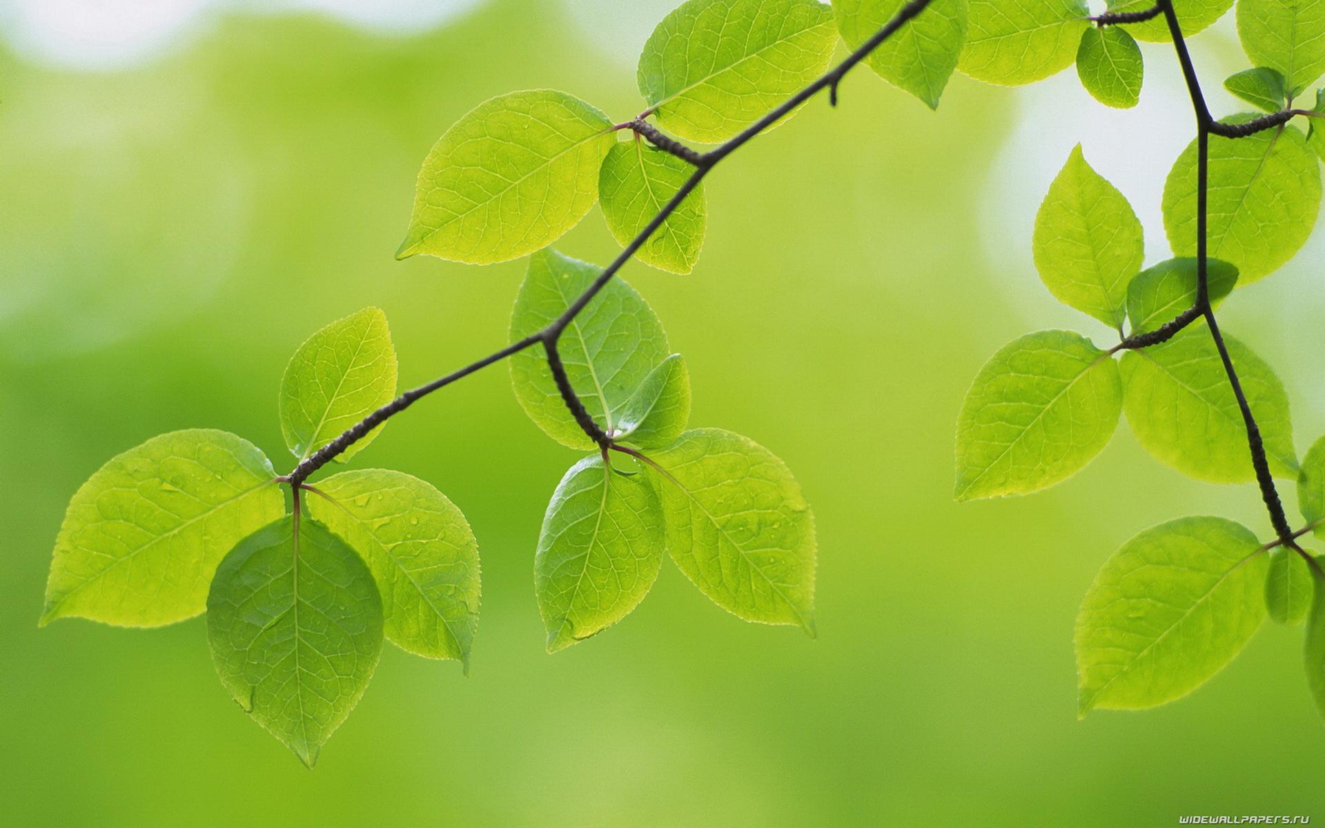 ветви, листья, зеленые