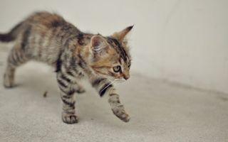 Фото бесплатно котенок, шагает, морда