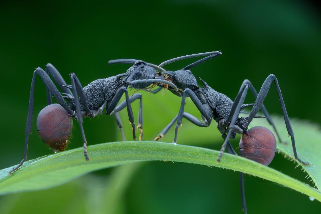 Фото Муравей насекомое муравьи - бесплатные картинки на Fonwall
