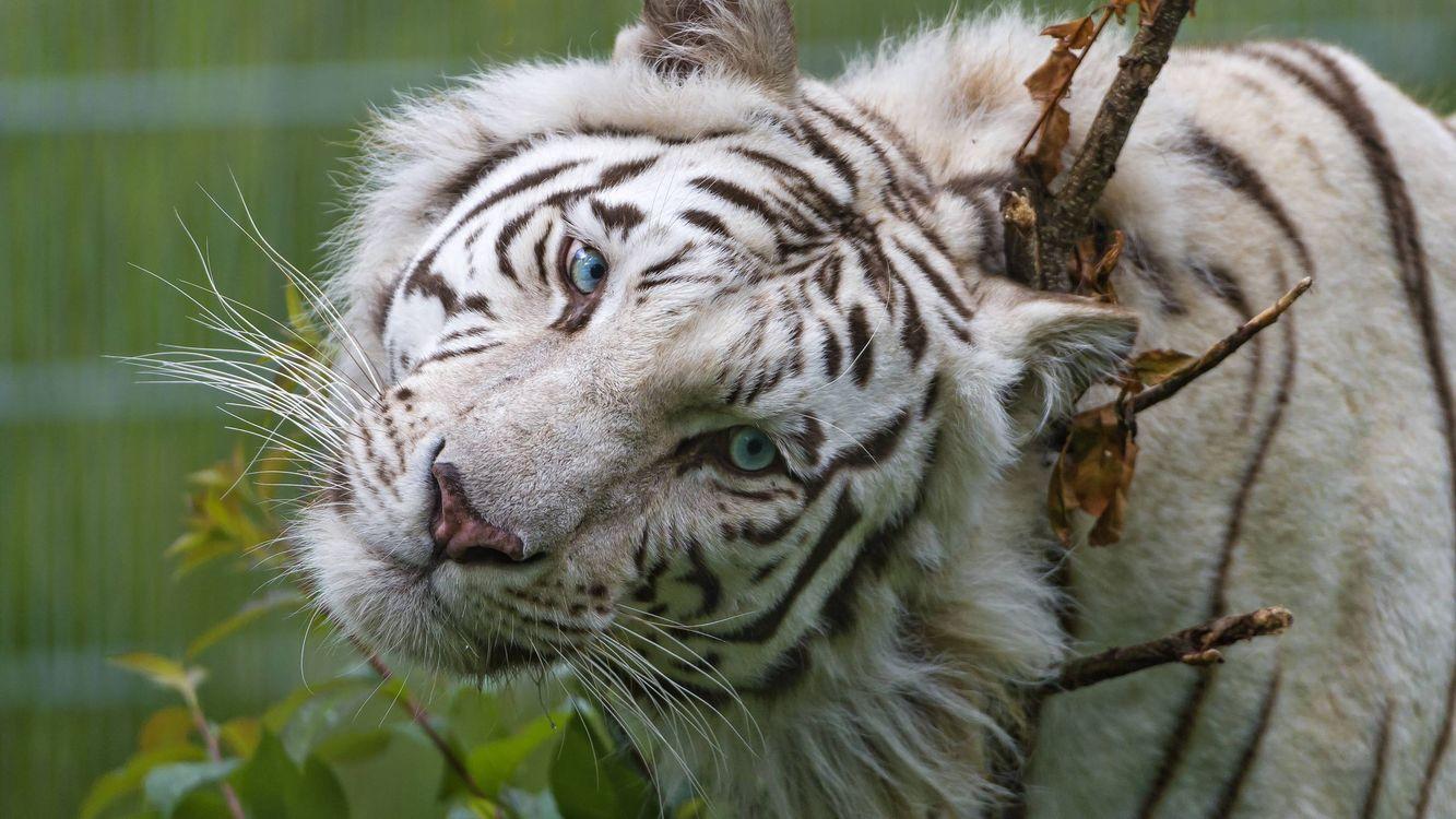 Фото бесплатно белый тигр, чешется об ветку, кошки