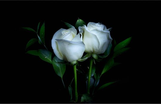 Фото флора, розы - обои на стол