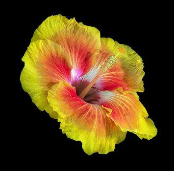 Фото на телефон цветок, гибискус