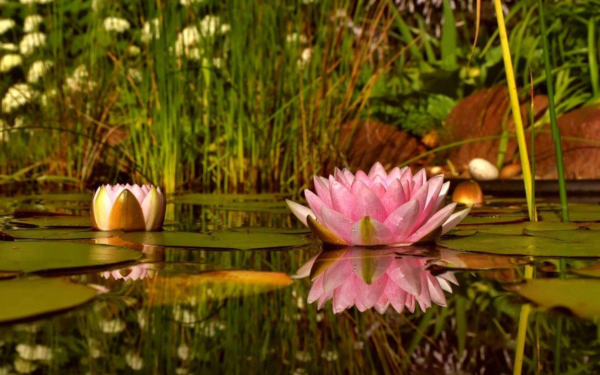 Фото бесплатно лотосы, лепестки, розовые, бутон, листья, водоем, растительность, цветы
