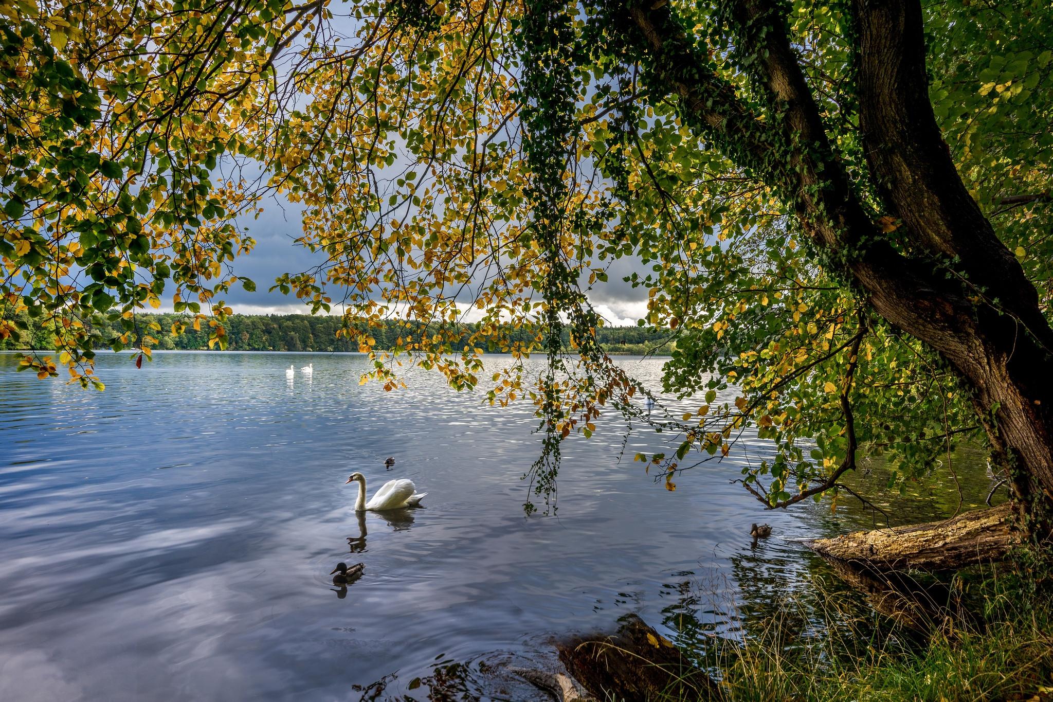 обои осень, река, деревья, лебеди картинки фото