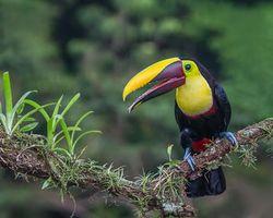 Фото бесплатно Тукан, Коста-Рика, птица