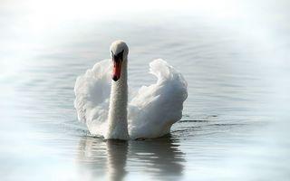 Бесплатные фото Вода,лебедь,озеро,лето,белый,природа