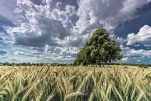 Бесплатные фото поле,колосья,дерево,облака,небо,пейзаж