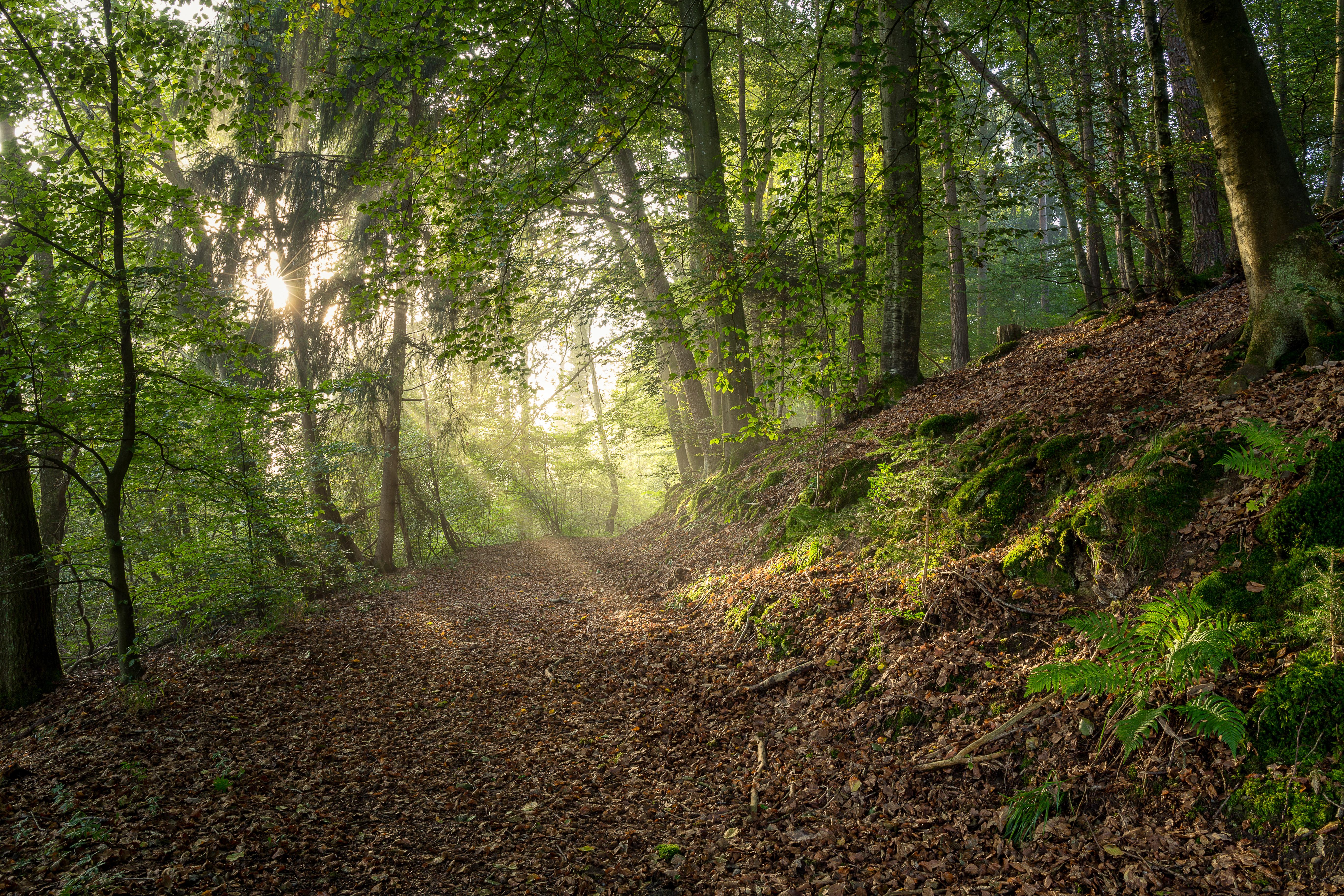 обои лес, деревья, солнечные лучи, природа картинки фото