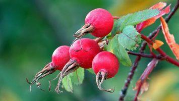 Фото бесплатно ветка, ягоды, плоды, шиповник, макро