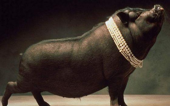 Фото бесплатно минипиг, свинья, черная