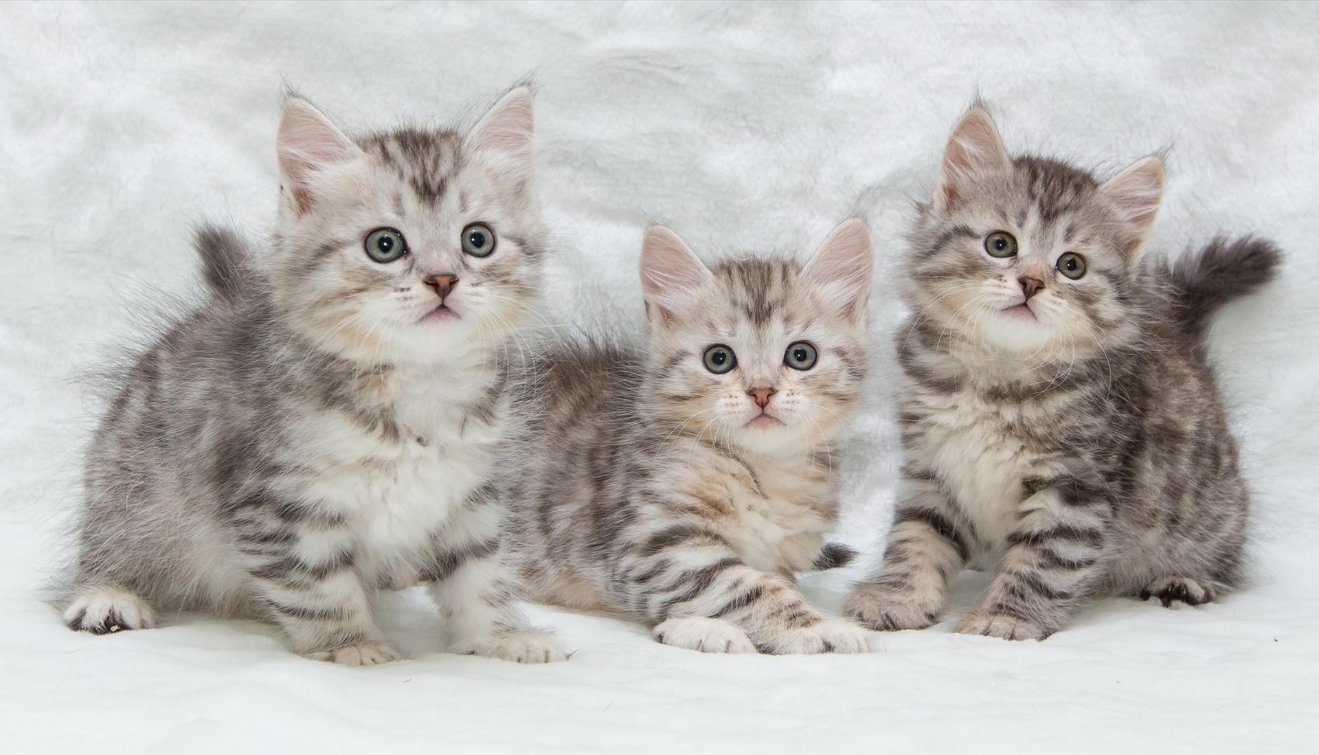 Обои котята, малыши, трио