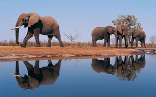 Бесплатные фото слоны,уши,хоботы,бивни,берег,кустарник,водоем