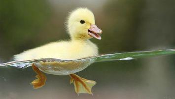 Бесплатные фото каченя,жовте,пливе,дзьоб,вода,природа,птицы
