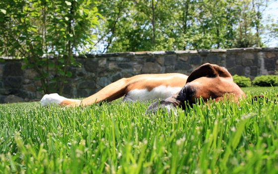 Photo free breed, lawn, grass