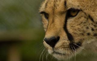 Бесплатные фото гепард, тигр, кот, окрас, дикий, уши, нос