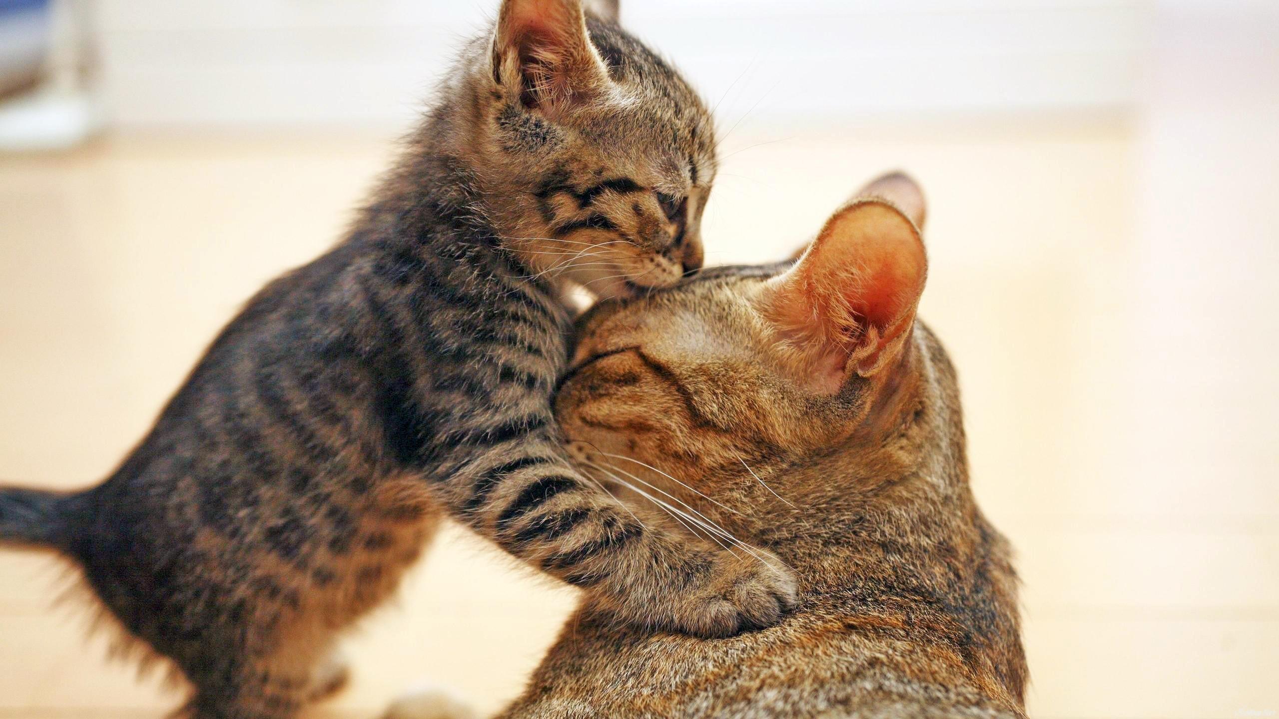 кошки, котёнок, кошка