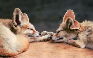 Бесплатные фото лисицы,два,деревянный,стол,лежат,сон,отдых