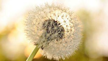 Заставки одуванчик,семена,пух,роса,капли,стебель,цветы