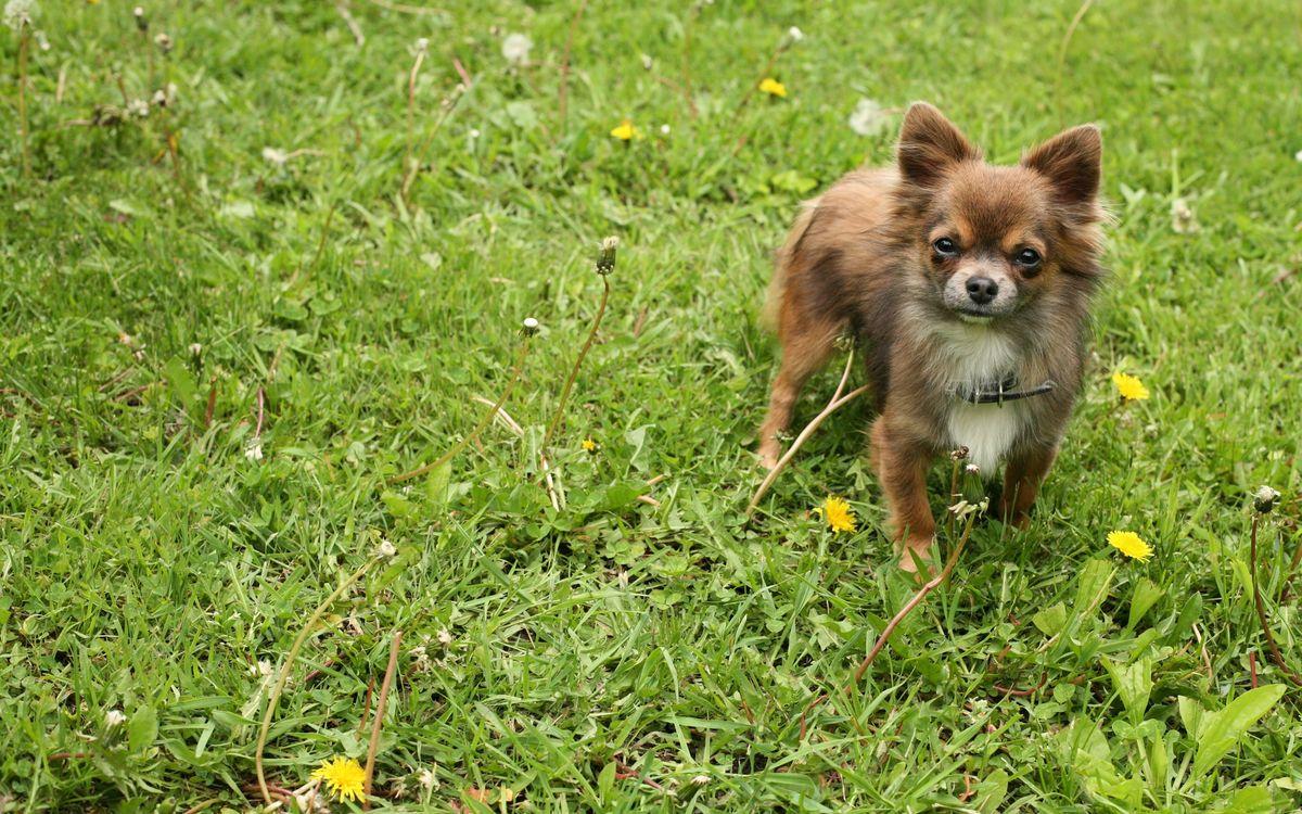 Фото бесплатно пес, щенок, шерсть, порода, ошейник, уши, нос, глаза, взгляд, трава, лужайка, собаки, собаки