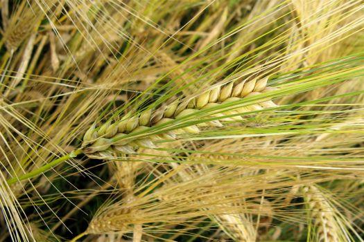 Photo free field, ears, millet