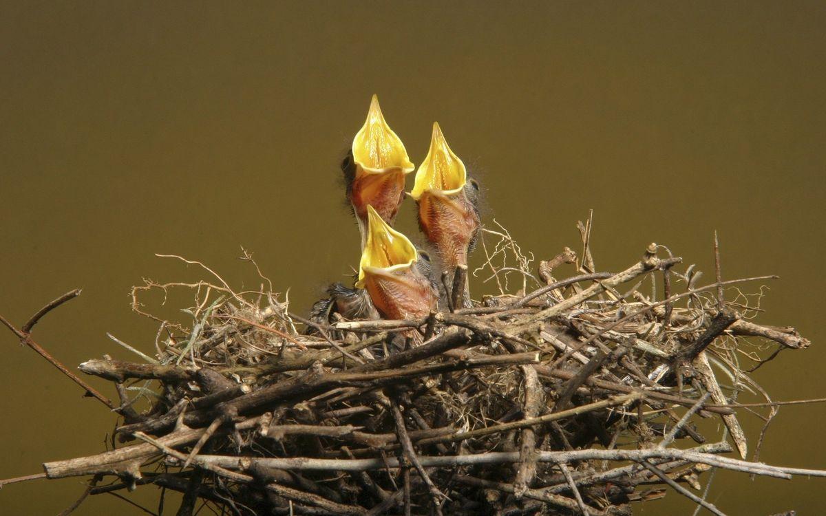 Фото бесплатно птенец, гнездо, дерево, ветки, клюв, корм, пух, перья, птицы, птицы