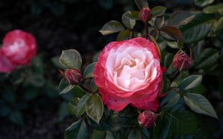 Бесплатные фото роза, лепестки, листья, шины, куст, бутон, цветок