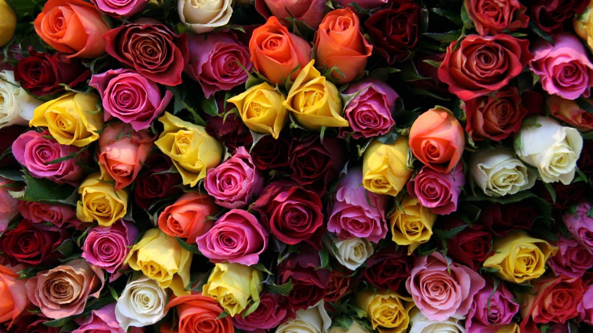 розы, разного цвета, бутоны
